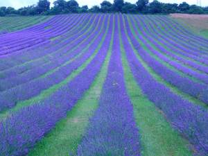 Lavender stripes