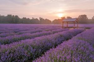 Lavender Perfume Workshop