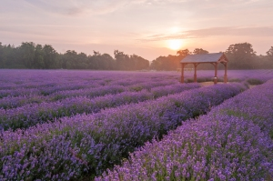 Lavender Perfume Workshop