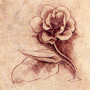 Leonardo da vinci flower study