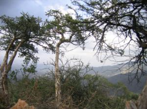 Boswellia carteri tree