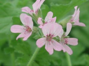 Attar of Roses - Scented Leaf Pelargonium