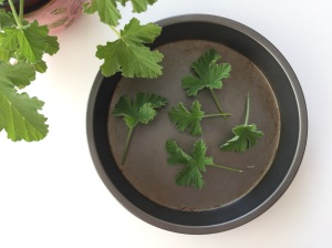 scented leaf pelargonium